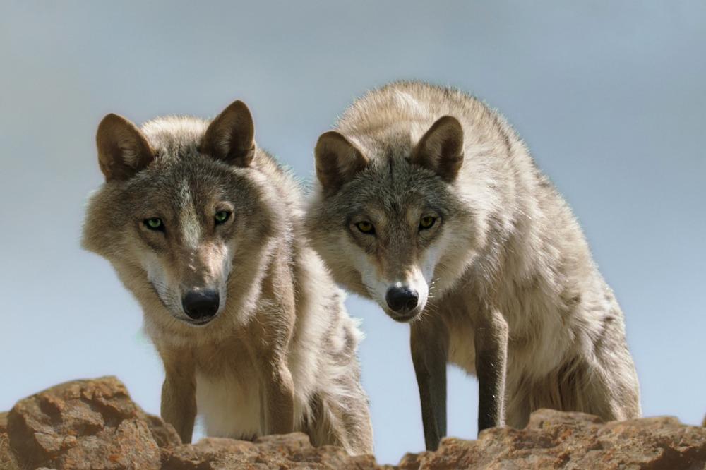 letzte-wolf-der-14-rcm0x1920u